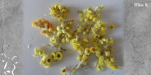 Helichrysum aus Poland